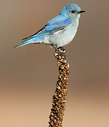 University Photographer Daniel Miller took this shot of the mountain bluebird near Oak Openings Preserve Metropark.