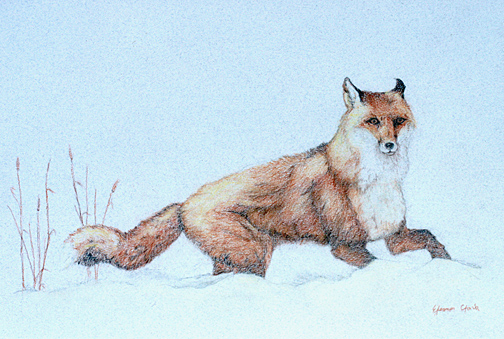 This red fox was drawn by Eleanor Clark, who took first place in the teen category.
