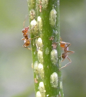 Azteca ants tend to the green coffee scale insects.