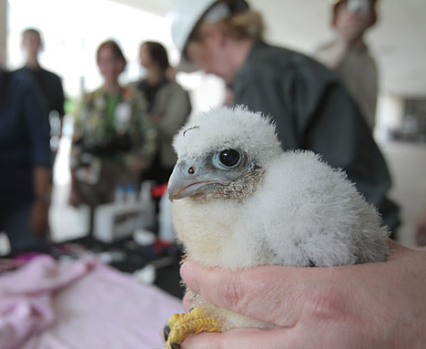 One of the four new chicks waited to be banded.