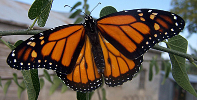 monarch-butterfly-033