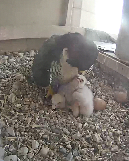 Two falcon chicks are seen being fed earlier this week in this image from the UT Fal-Cam.