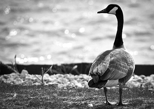This photo of a Canada goose by Clyde Swander was the top shot in the teen category.