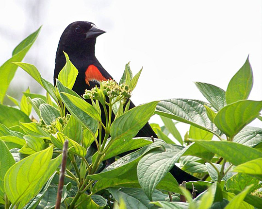 This shot of a red-winged blackbird by Marc Arnett was first in the adult special needs category.