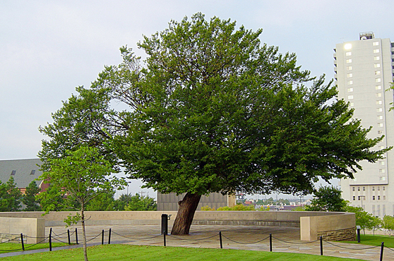 Hear how this American elm was saved after the 1995 Oklahoma City bombing and has become known as the Survivor Tree at a talk Wednesday, April 29.
