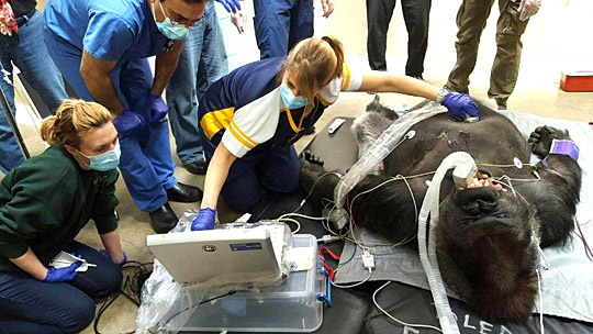 Amy Lather, an ultrasound technician at UT Medical Center, conducted an ultrasound on Kwisha the gorilla at the Toledo Zoo as Dr. Qaiser Shafiq, a cardiology fellow in the University training program, center, watched.