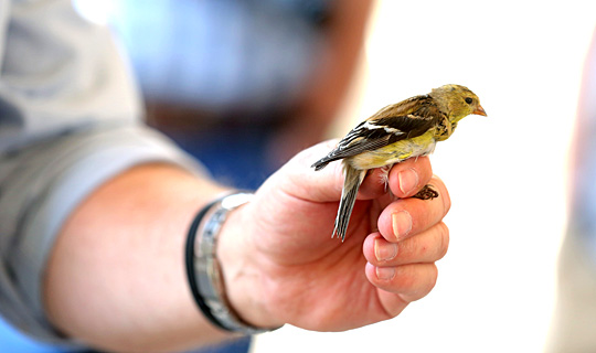 Black Swamp Bird Observatory Research Director Mark Shieldcastle showed an American goldfinch to UT students before it was banded.