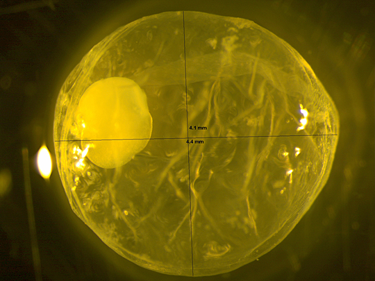 UT graduate student Holly Embke took this photo of a single grass carp egg through a microscope.