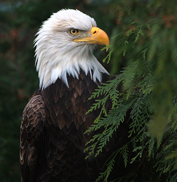 """Bald Eagle"" was photographed by Michele ""Mickey"" Ross at the Toledo Zoo."