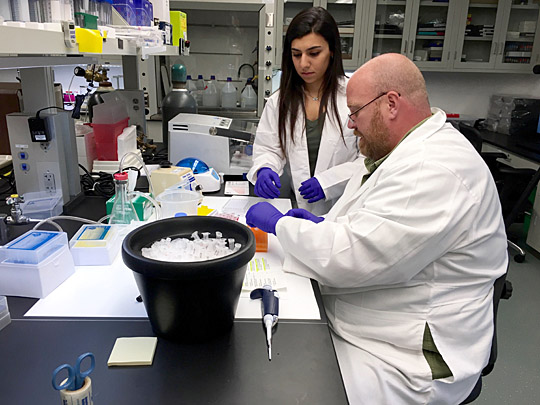 Andrew Kleinhenz, biomedical research assistant, and Dalal Mahmoud, UT junior majoring in biology, thawed plasma samples from mouse blood for molecular analysis to measure liver damage.