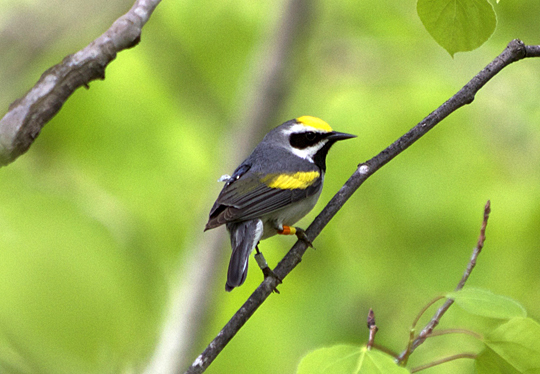 A golden-winged warbler carrying a geolocator in Minnesota.