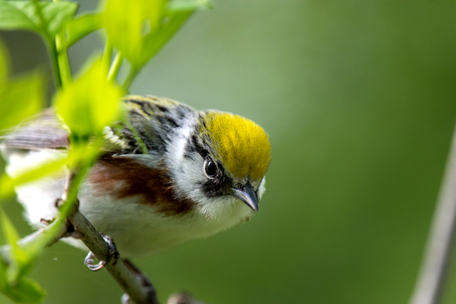 Quentin Francis-Emonds took the top prize in the teen category with this shot of a chestnut-sided warbler at Magee Marsh.