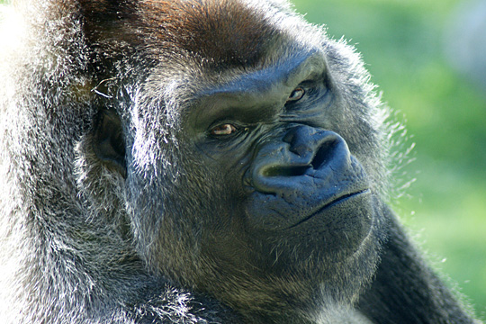 Kwisha in 2013 in this photo courtesy of Andi Norman/Toledo Zoo
